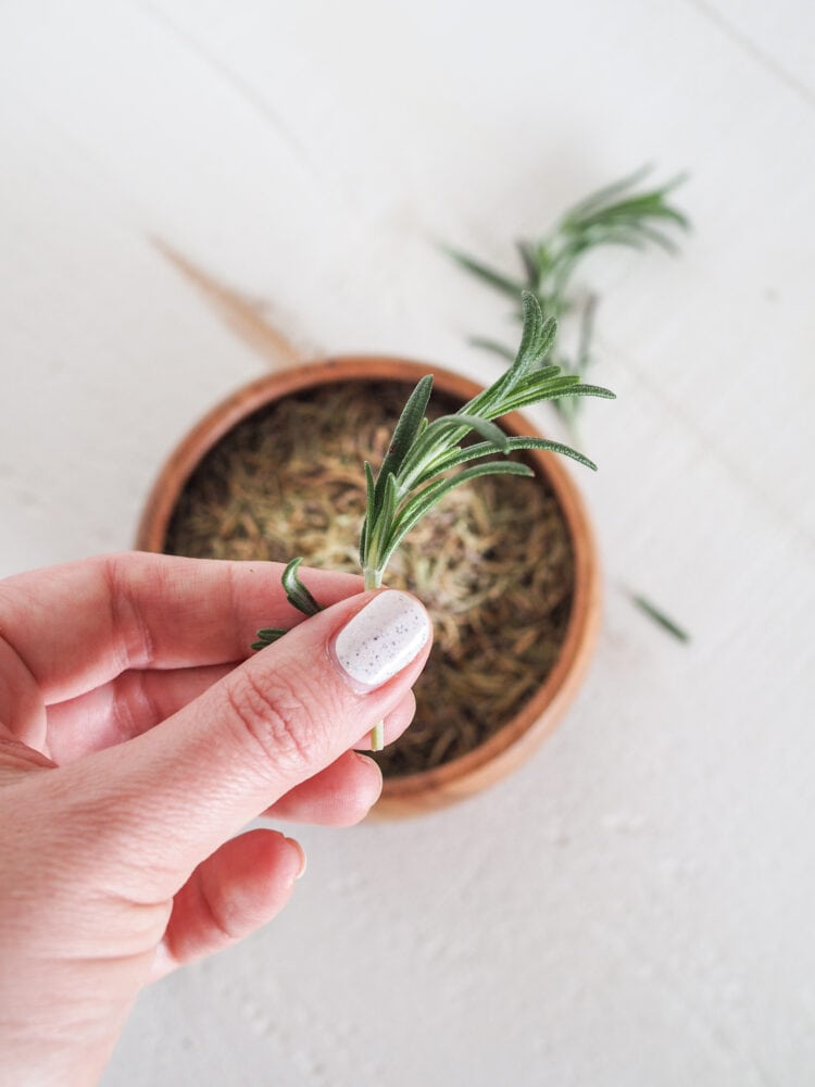Holding a spring of green rosemary over a bowl of dried rosemary.